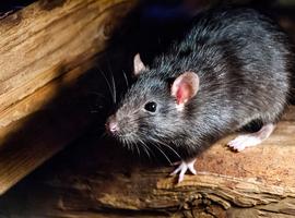 Virologen op zoek naar Antwerpse ratten met coronavirus