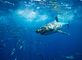 Un médecin surfeur découvre comment sauver d'une morsure de requin